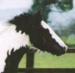 Fionn, imported Gypsy Vanner Horse stallion