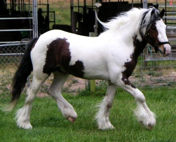 Gaelic Dancer, 2004 Gypsy Vanner Horse stallion