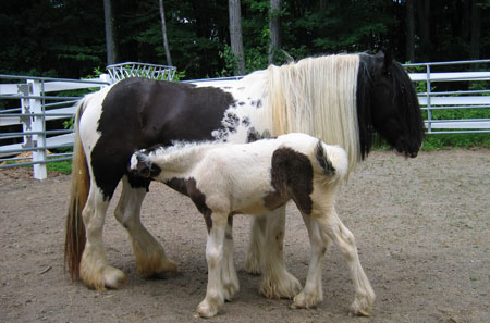Gillee, Gypsy Vanner Horse filly