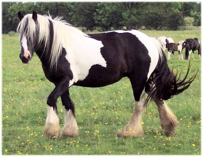 Hannah, 2000 imported Gypsy Vanner Horse mare