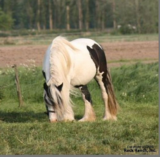 The Hanne Mare, Gypsy Vanner Horse mare in Europe