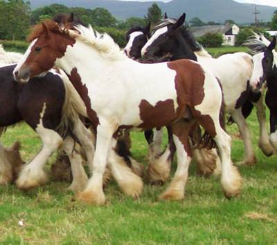 Stout Wild Hollywood, imported Gypsy Vanner Horse stallion