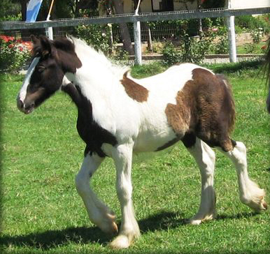 Cici's Princess, 2008 Gypsy Vanner Horse filly