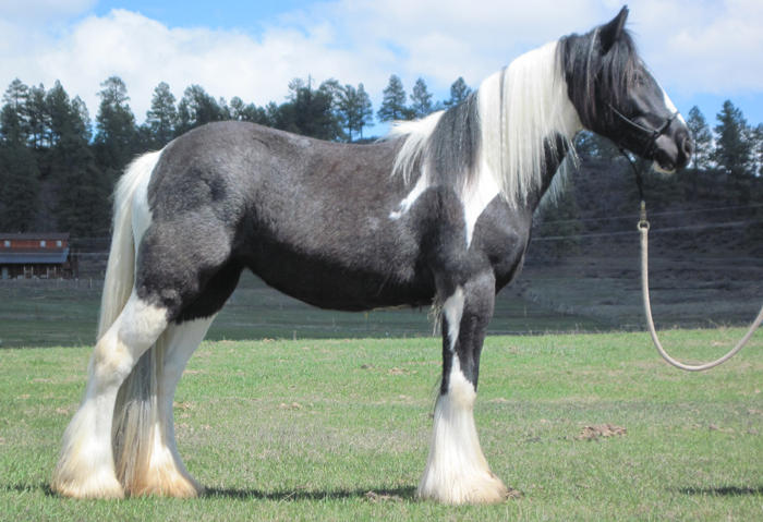 Kayla, 2008 Gypsy Vanner Horse filly