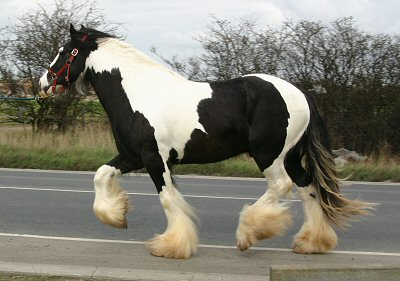 Keaton, Gypsy Vanner Horse stallion in UK