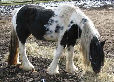 Melodee, imported Gypsy Vanner Horse mare