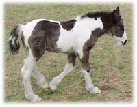 Kuchi, first Gypsy Vanner Horse filly in the US