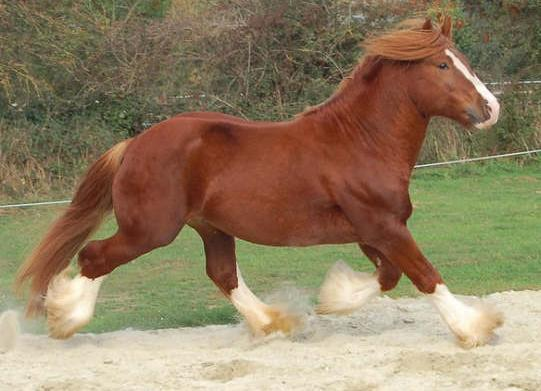 O'Bryan, Gypsy Vanner Horse stallion in Europe