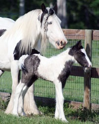 Oberon of Orcas Island, 2009 Gypsy Vanner Horse colt