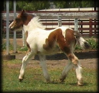 Cici's Prince, 2009 Gypsy Vanner Horse colt