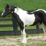 EBV Quintessa, 2006 Gypsy Vanner Horse filly
