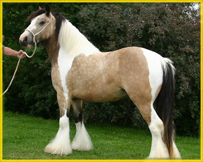 Sable, imported 2002 Gypsy Vanner Horse mare
