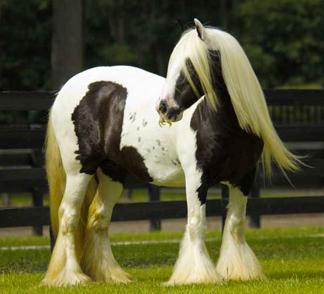 Miss Downs, imported Gypsy Vanner Horse mare
