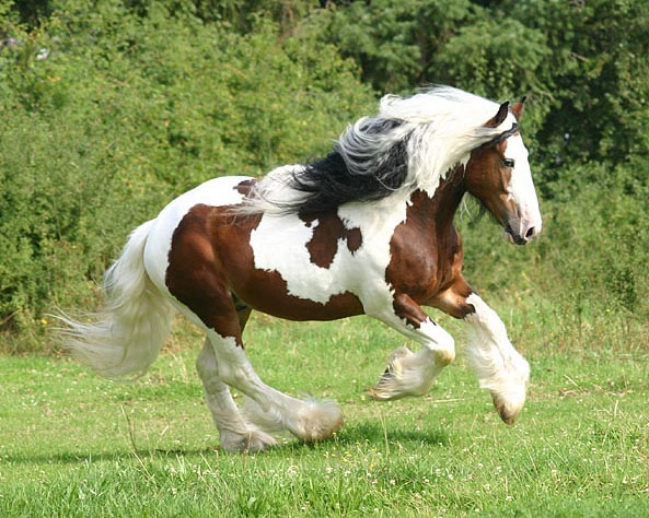Sir Maverick, 2002 imported Gypsy Vanner Horse stallion