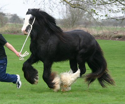 The Wooly Mammoth, 2002 Gypsy Vanner Horse stallion in the UK