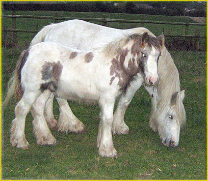 The Grey Mare, Gypsy Vanner Horse in the UK