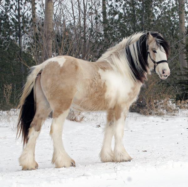 Black Tobiano Horse