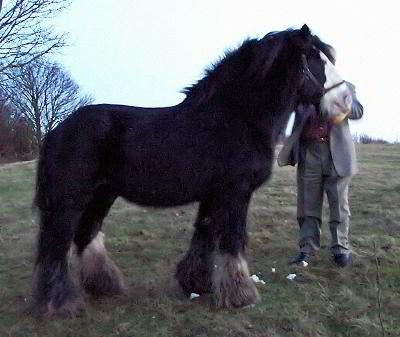 The Lob Eared Horse, Gypsy Vanner Horse stallion in England