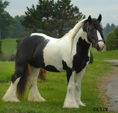 Tom Tom, 2004 imported Gypsy Vanner Horse stallion