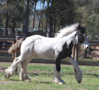 Jude, 2008 Gypsy Vanner Horse colt