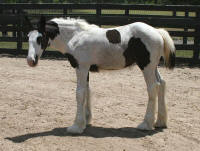 Juniper Breeze, 2006 Gypsy Vanner Horse filly