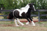 Rivendell Keela, 2007 Gypsy Vanner Horse filly