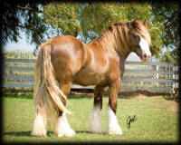 Cici's Sir Keith, 2007 Gypsy Vanner Horse stallion