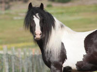GG Kralisi, 2007 Gypsy Vanner Horse filly