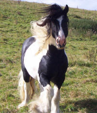 SD Laddie, imported Gypsy Vanner Horse stallion