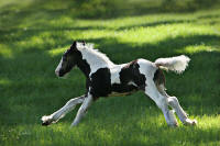 GG Lady Godiva, 2006 Gypsy Vanner Horse filly