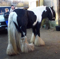 The Lottery Horse, imported Gypsy Vanner Horse stallion