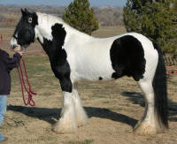 Legacy, 2003 imported Gypsy Vanner Horse stallion