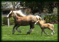 Maizey filly, 2008 Gypsy Vanner Horse foal
