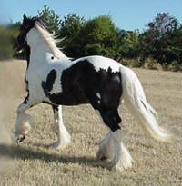 Sylvester, imported Gypsy Vanner Horse colt