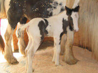 Melodee filly, Gypsy Vanner Horse
