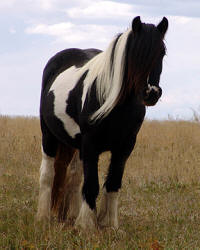 Meeka, 2002 imported Gypsy Vanner Horse mare