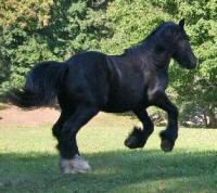 SWF Miss Amelia, 2008 Gypsy Vanner Horse filly