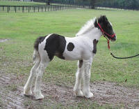 VVF Mona Lisa, 2007 Gypsy Vanner Horse filly