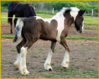 Sable colt, 2007 Gypsy Vanner Horse foal