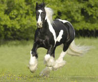 Bob, imported Gypsy Vanner Horse gelding