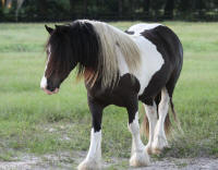 WR Odjus Ray, 2008 Gypsy Vanner Horse gelding