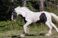 Orion of Orcas Island, 2012 Gypsy Vanner Horse gelding