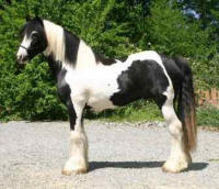 Prince Charming, Gypsy Vanner Horse stallion