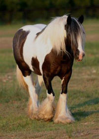 The Pearly Mare, imported Gypsy Vanner Horse mare