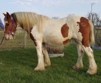 WW The Phoenix, 2013 Gypsy Vanner Horse filly