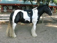 Phantom, 2006 Gypsy Vanner Horse stallion