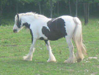 Candy Queen, 2001 imported Gypsy Vanner Horse mare