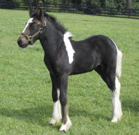 EBV Piper, 2009 Gypsy Vanner Horse filly