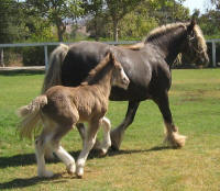 Cici's Platinum Doll, 2009 Gypsy Vanner Horse filly