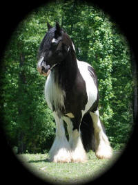 Pollyanne, 1998 imported Gypsy Vanner Horse mare